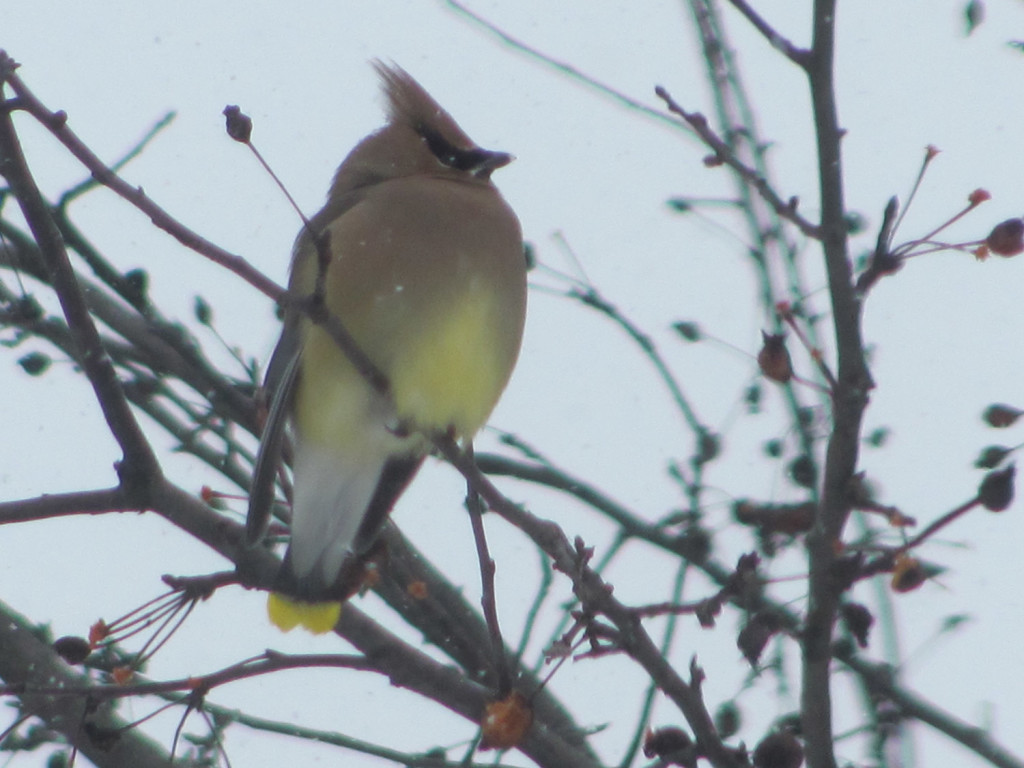 A cedar waxwing weathers the storm in a tree in Farmington to the delight of Kim Taylor from the nearby town of Industry.