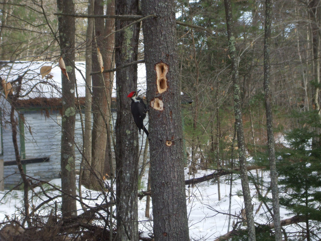 This woodpecker has been busy working on the trees near Don Mitsmenn's home in Scarborough.
