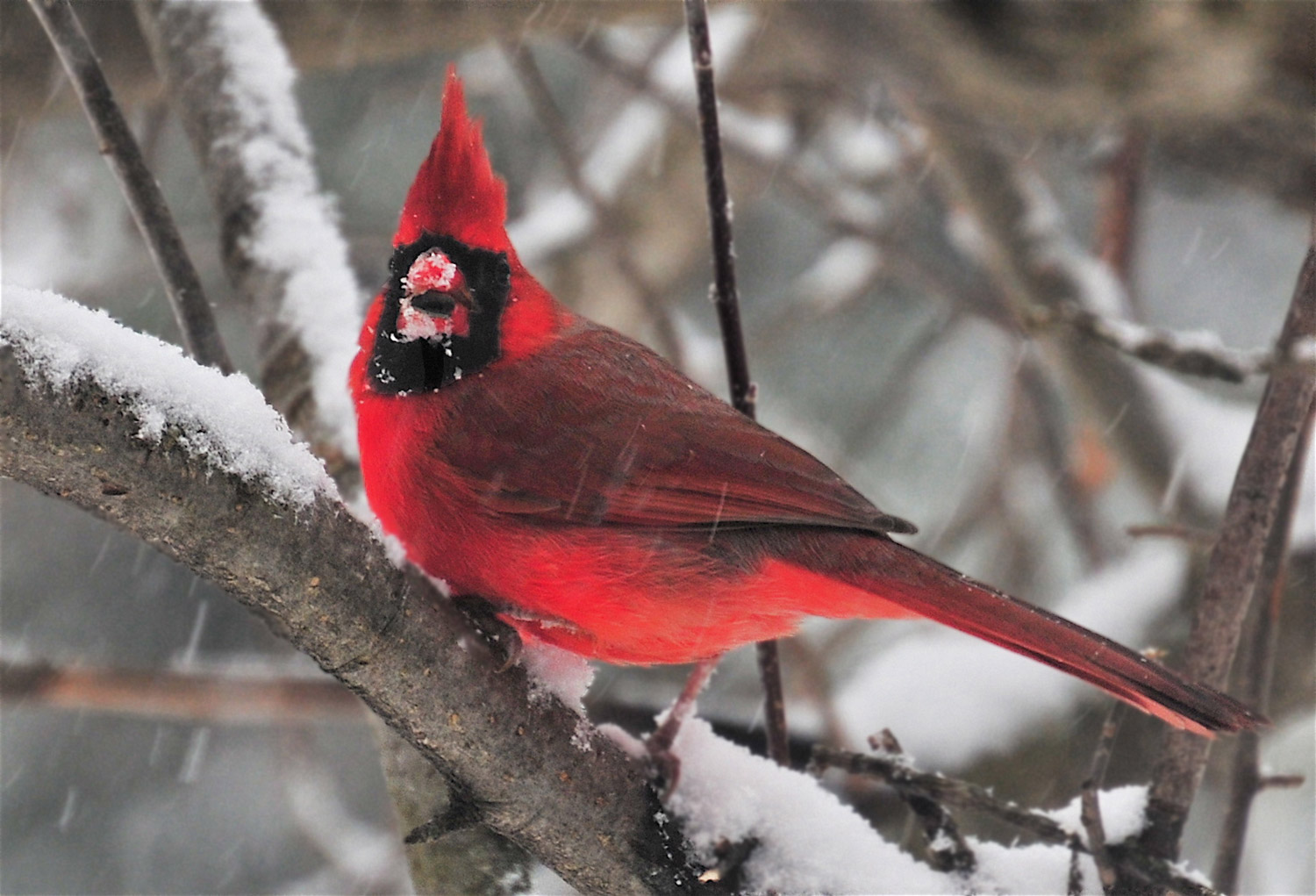 This male cardinal looked like next December's Christmas card as its brilliant hue stook out in Erik Bartlett's South Casco yard, where it even found a few seeds.