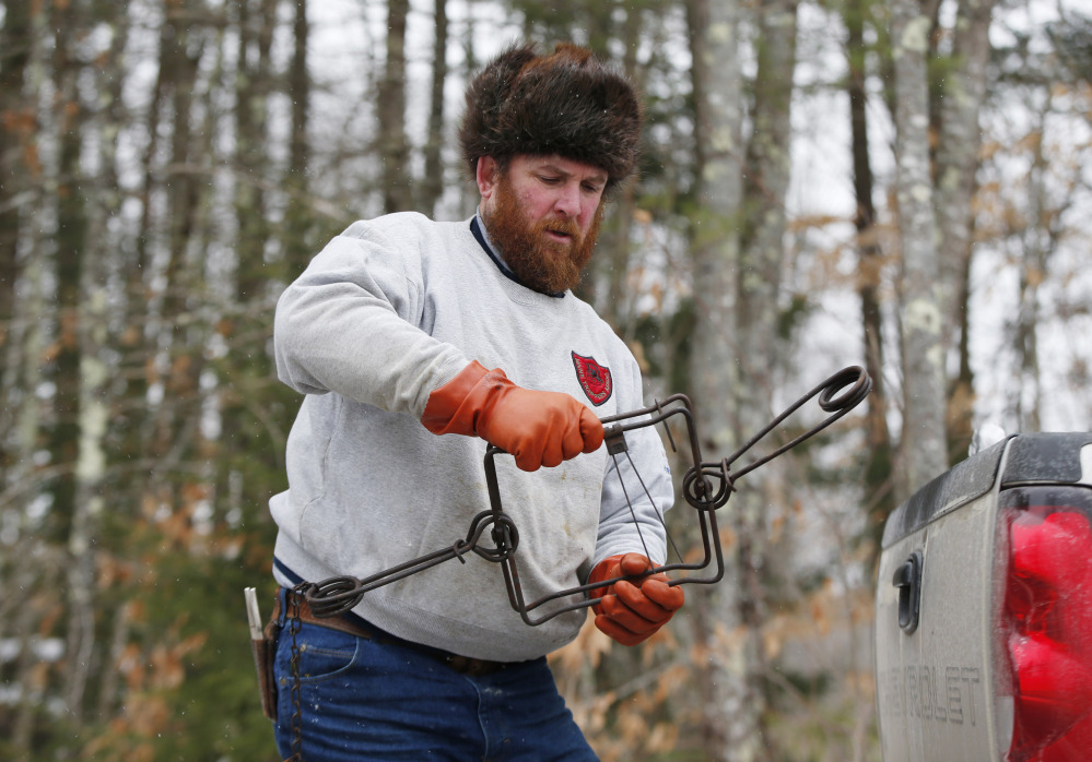 Brian Cogill prepares a trap he uses to catch beaver in Limington. Market slowdowns in big fur-buying countries like Russia, China and Korea are hurting prices.
