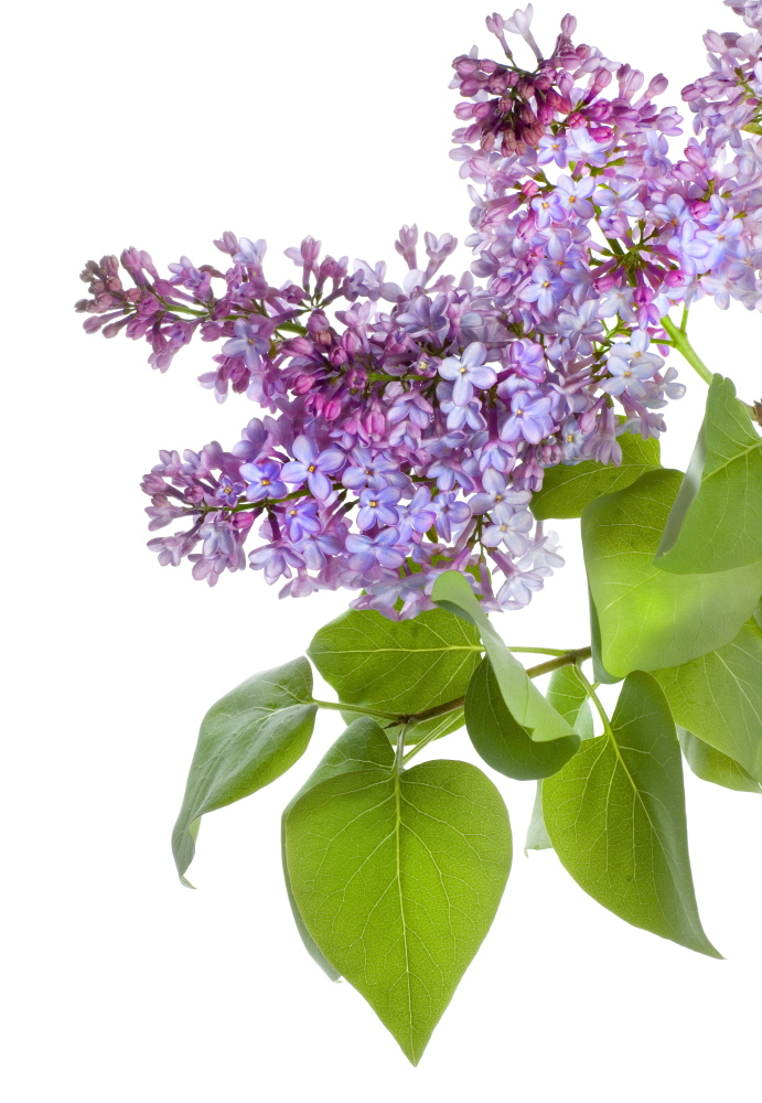 Bill Cullina, executive director of Coastal Maine Botanical Gardens, cuts back lilac bushes every three to five years.