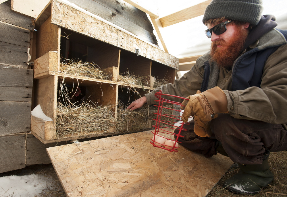 Dustin Colbry searches for eggs in a henhouse at Spruce Mill Farm.