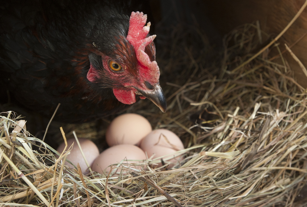 A Black Star hen keeps watch over its eggs at Spruce Mill Farm in Dover-Foxcroft.