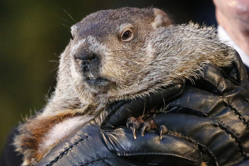 Punxsutawney Phil, the weather prognosticating groundhog, is held by the gloved hands of handler Ron Ploucha on Feb. 2, when Phil forecast six more weeks of winter weather. At least one New Hampshire police department would like to have word with Phil.