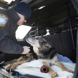 Officer Shane Stephenson of the South Portland Police Department spends a moment with Sultan, a retired Yarmouth police dog who had become his pet, before Sultan was euthanized Friday.