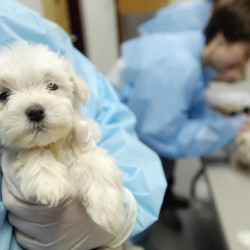 An animal care attendant at the Idaho Humane Society in Boise holds a 7-week-old Maltese puppy that was rescued from an Oregon puppy mill in 2007. Toothless federal standards allow large-scale breeders to house breeding dogs in cramped cages, where they get little exercise and no grooming or regular veterinary care.