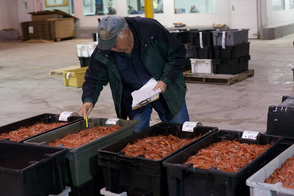 "Sandy MacIver, a buyer for Emerald Seafood in New York, examines shrimp before an auction Thursday at the Portland Fish Exchange. He was outbid and failed to get any shrimp. Figuring out a bid price was a ""shot in the dark,"" he said."