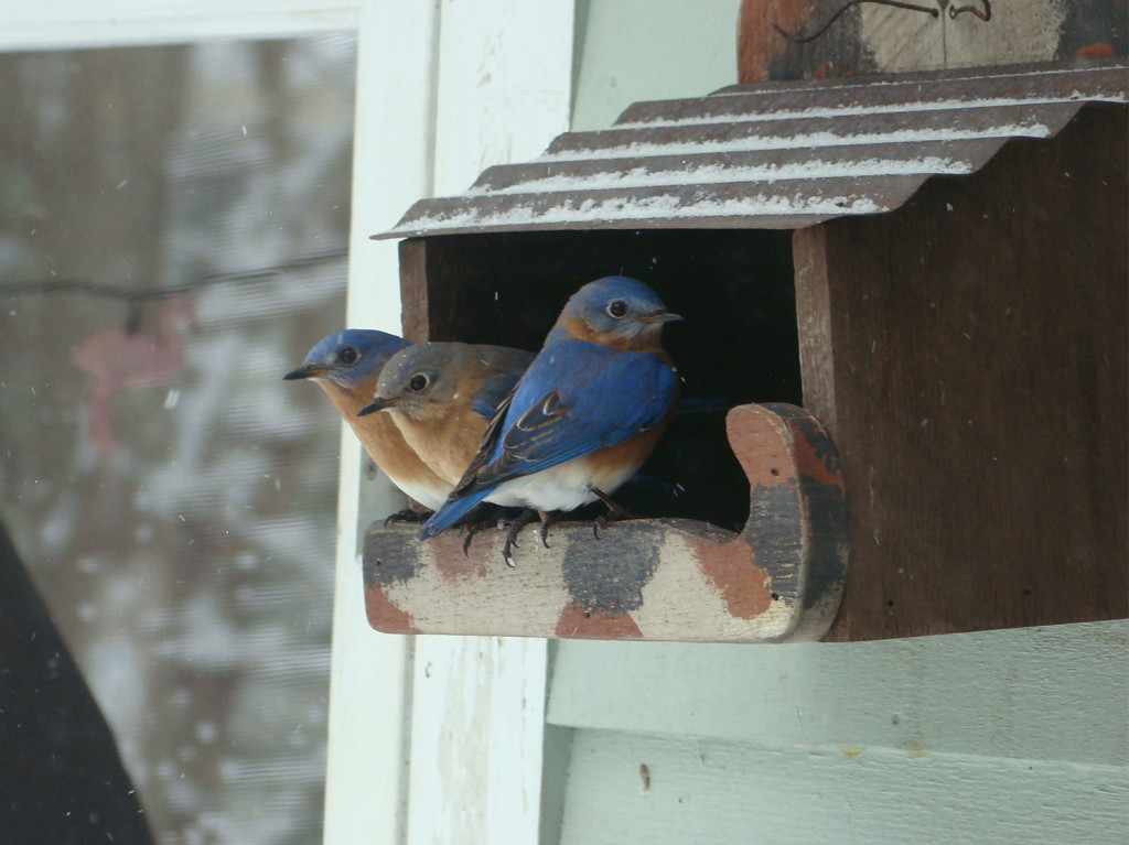 Eric Smith isn't sure if these bluebirds are late to leave or early arrivals, but they're welcome at his feeder in South Portland.