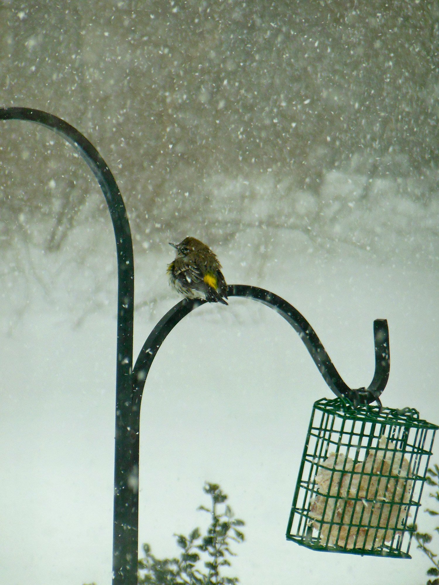 A yellow-dumped warbler stakes out his place at the suet cage in the middle of winter storm in this photo from Ellie Andrews of Wells.