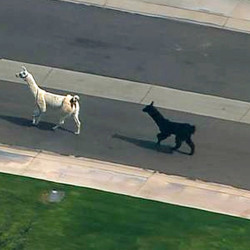 Two quick-footed llamas dash in and out of traffic in a Phoenix-area retirement community before being captured on Thursday.