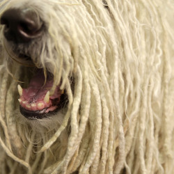 Chauncey, a Komondor , shows off what turned out to be a winning smile in best of breed at the Westminster Kennel Club show in New York on Tuesday.