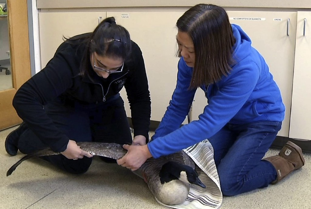 Dr. Florina Tseng, right, director of the Wildlife Clinic of the Cummings School of Veterinary Medicine at Tufts University, examines the injured wing of a goose with one of her students. The Associated Press