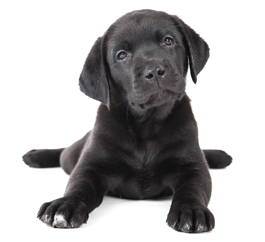 Locally, among the dogs registered in Portland and South Portland, 15 percent are Labs or a Lab mix. Shutterstock photo