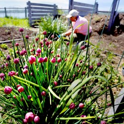 Anne Manganello, who lives on Munjoy Hill, works on one of her raised beds at the North Street Community Garden in Portland. In the foreground are chives that are flowering.