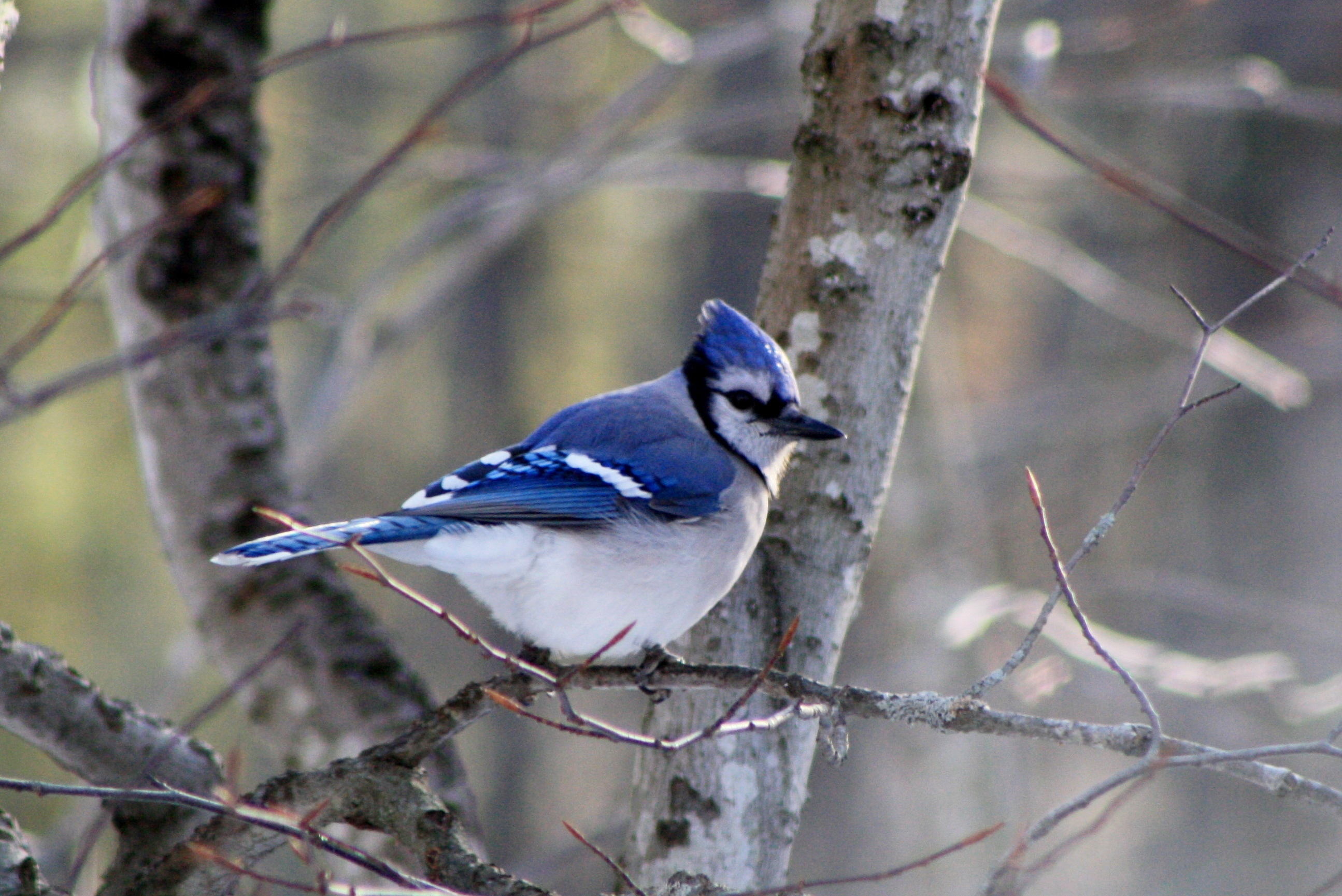 Patience isn't a word normally applied to blue jays, but this one seems content to wait its turn for a meal at the feeder in Bruce Small's yard in Raymond.
