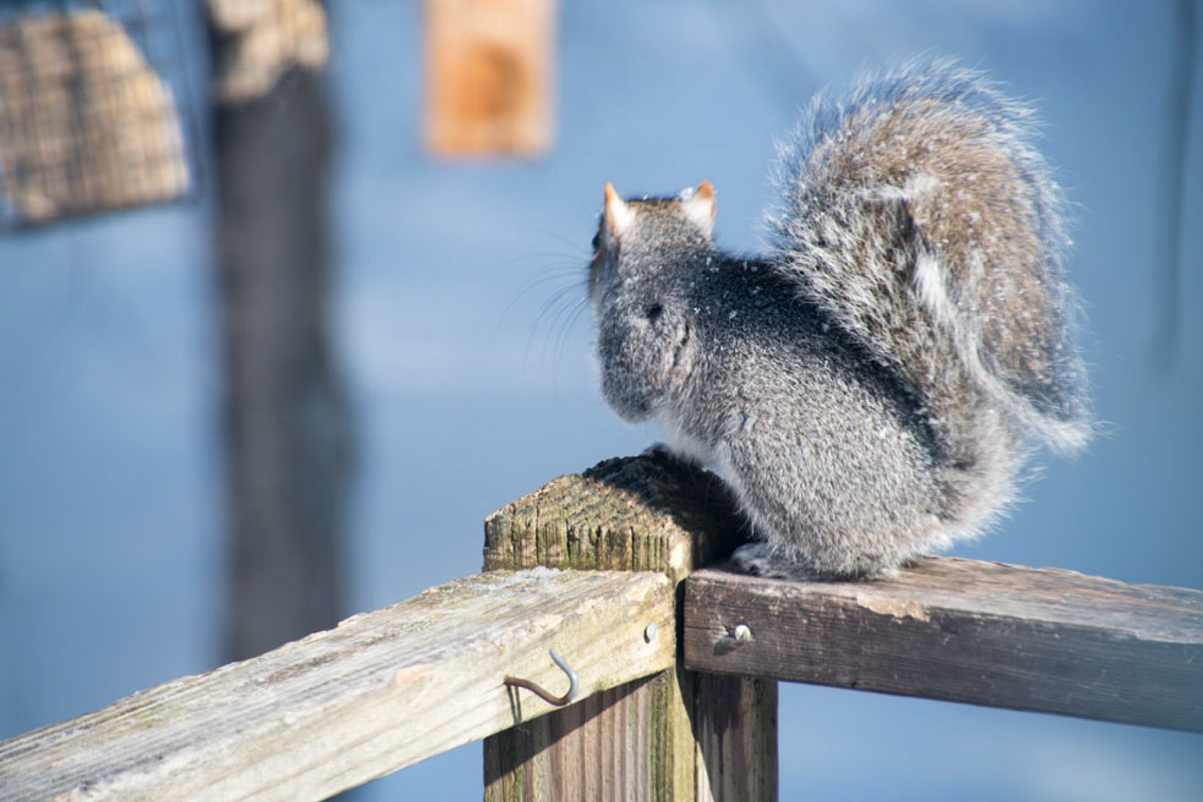 The birds at George Kostovick's feeder in Harrison may soon be sent off by this squirrel with its eyes on the prize.