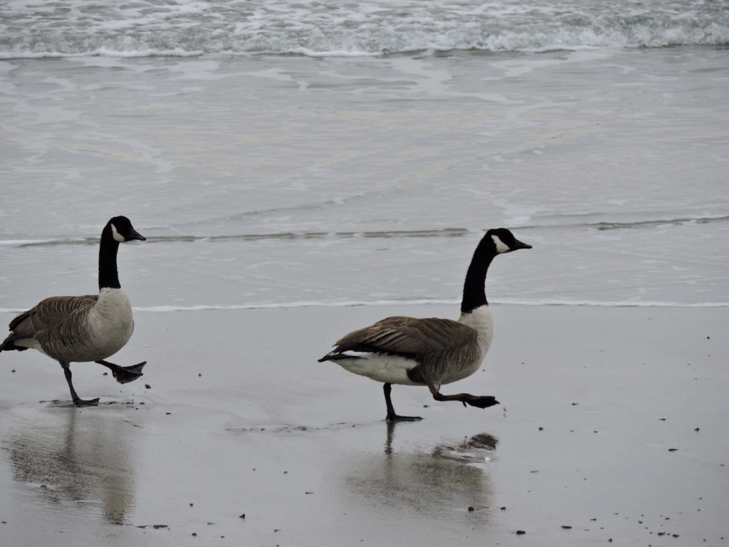 Kristen Holmberg captured this image of a pair of geese strutting along on Mother's Beach in Kennebunk.