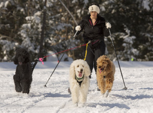 Peggy Dwyer of Livermore skijors with her standard poodles Diva, Brie and Peach at Roberts Farm Preserve in Norway. Carl D. Walsh/Staff Photographer
