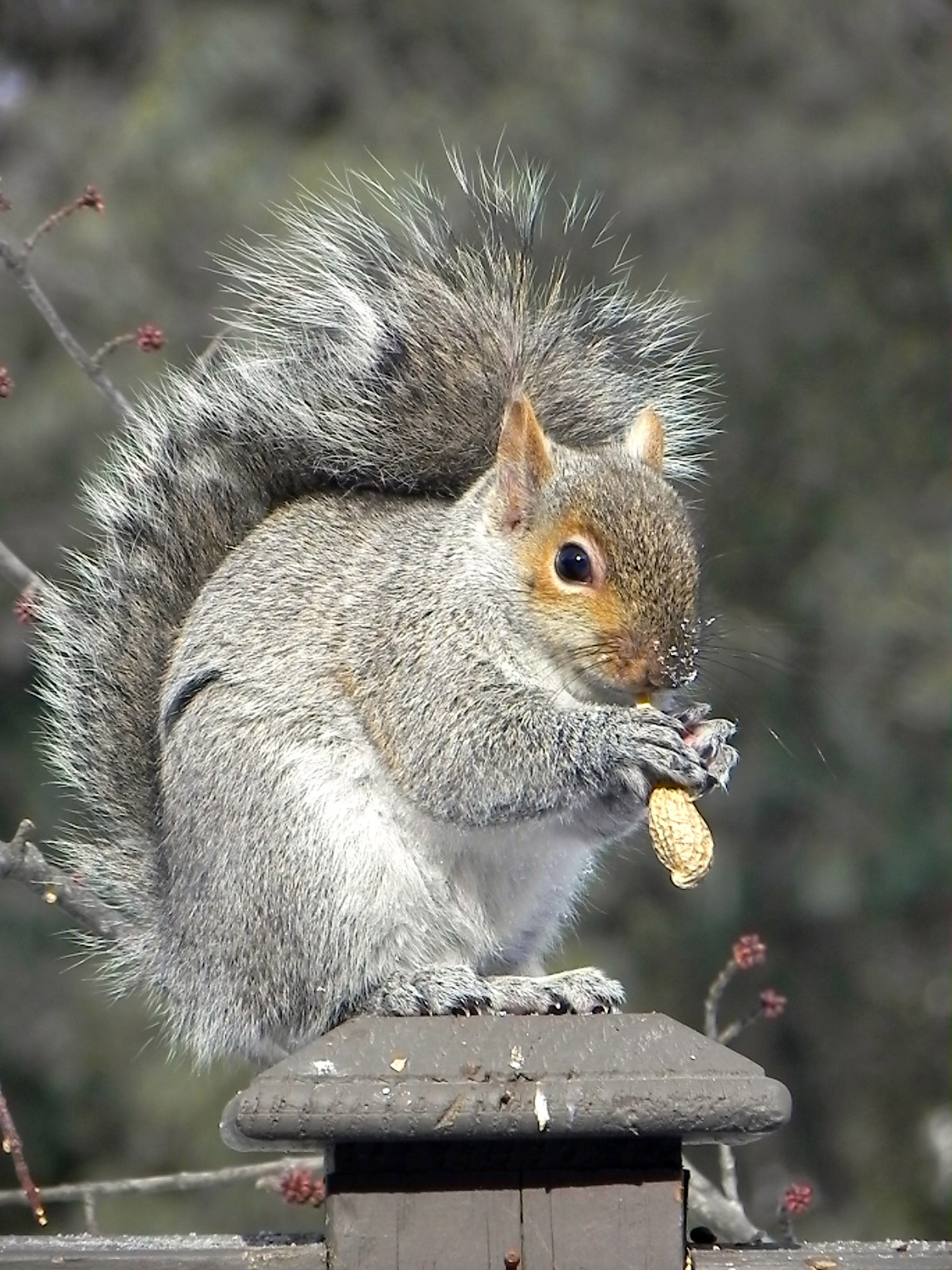 The harsh winter hasn't seemed to faze the big gray squirrel in Matthew Caiazzo's Sandy Terrace yard, where feeders sustain all kinds of birds and any other fauna that might be enterprising enough to help itself to a feeding.