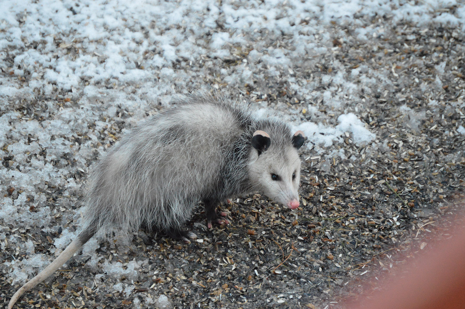 No need for this opossum to climb the bird feeders in Steven Edmondson's yard. Not when the birds scatter plenty of it for low-dwelling critters.