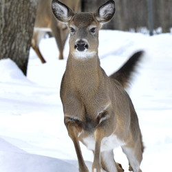 White-tail deer are struggling with the snowpack. John Patriquin/Staff Photographer