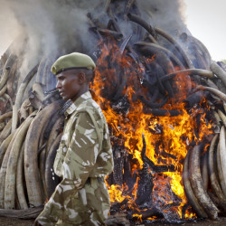 A ranger from the Kenya Wildlife Service walks past 15 tons of elephant tusks, which were set on fire  during an anti-poaching ceremony at Nairobi National Park on Tuesday.  The Associated Press
