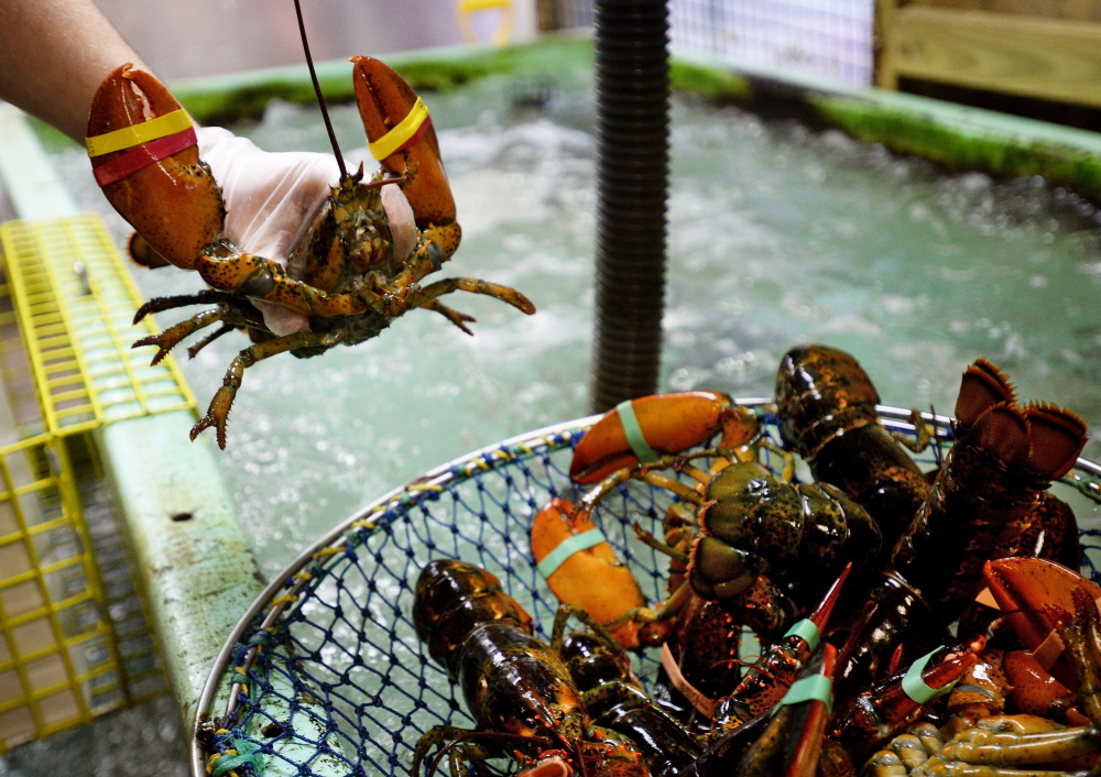 Abraham Turcotte removes lobsters from a tank Thursday at Harbor Fish Market in Portland. Researchers believe this year's cooler seas will cause the crustaceans, which spend winters in deeper waters offshore, to get a late start migrating to the coast.