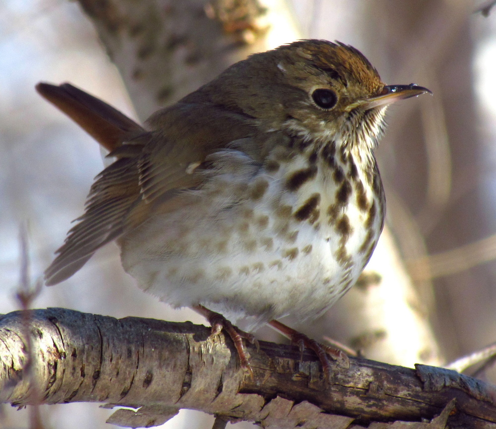 The hermit thrush seems to be increasing in numbers.