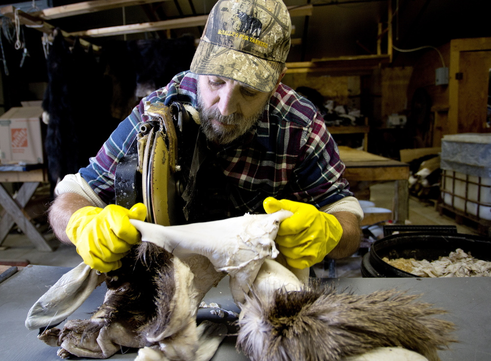 After the hide is soaked in brine, other chemicals loosen the flesh on the inside. Then it's cleansed of fat and excess flesh, which Greg McNally does leaning over a table saw that's sharpened often.