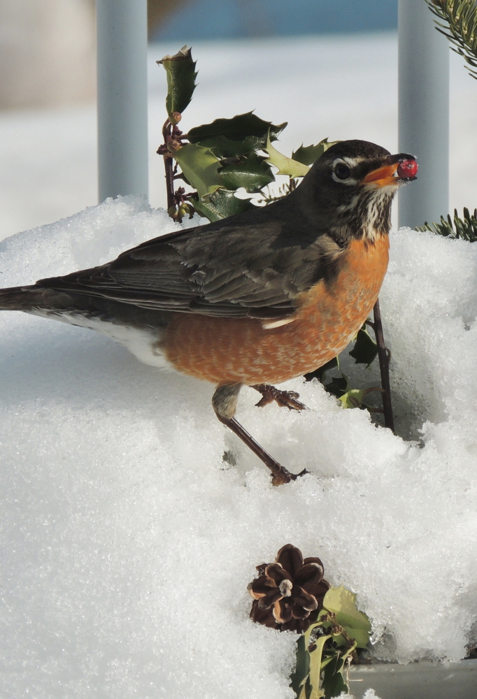On Ewing Narrows in Harpswell, this hungry robin found its way through the snow to a snack of holly berries in the yard of Carol Fetters.