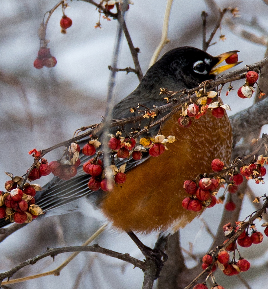 In Thomaston, the robins are also active, plucking berries from a bush in the yard of Hope Creighton.