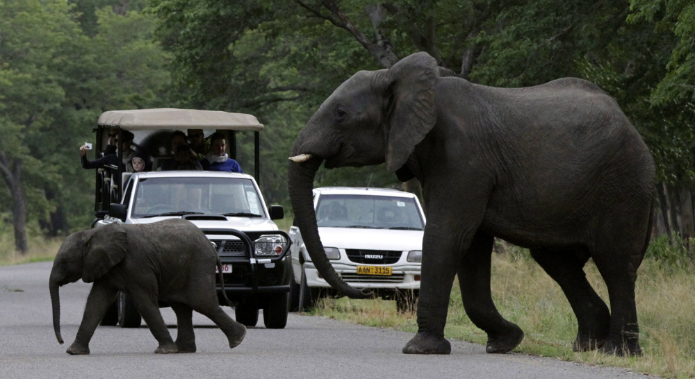An elephant and calf cross a road inside Zimbabwe's Hwange National Park. As a result of overpopulation, the country plans to begin selling some of the park's herd to buyers in France, United Arab Emirates and China.
