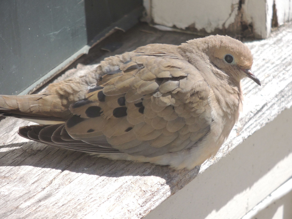 A dove soaks up the morning sun on the doorstep of Ann Lee Hussey's home in South Berwick – a ritual that has become habitual for several doves in recent weeks, according to Hussey.