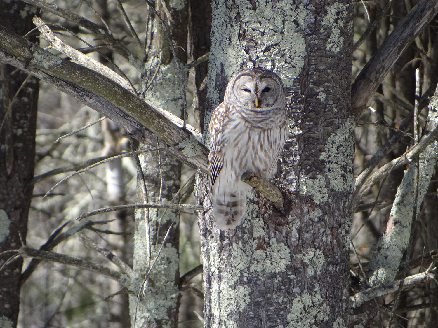 Alexander Spiller of Windham came home from school and spotted this owl in the tree, only after he thought he saw the tree move. It took Alex's mom and sister 10 minutes to spot the owl.