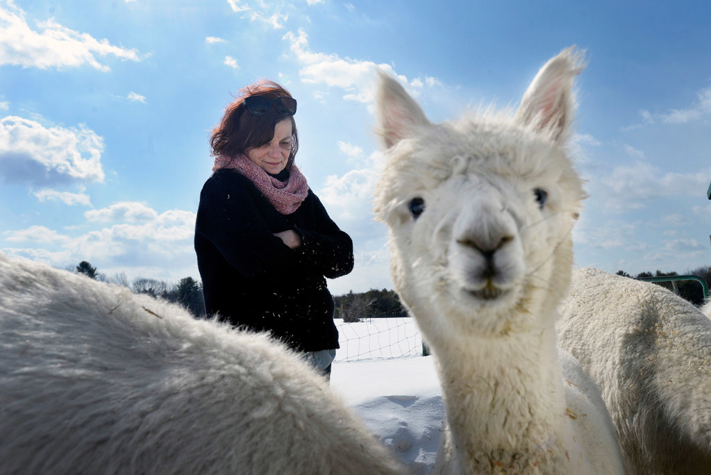 Marcia MacDonald of Buxton with some of the alpacas she raises for her locally dyed wool business.
