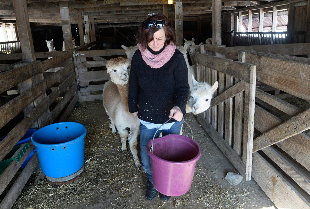 MacDonald is followed by her alpacas as she brings out grain at Lana Plantae Farm.