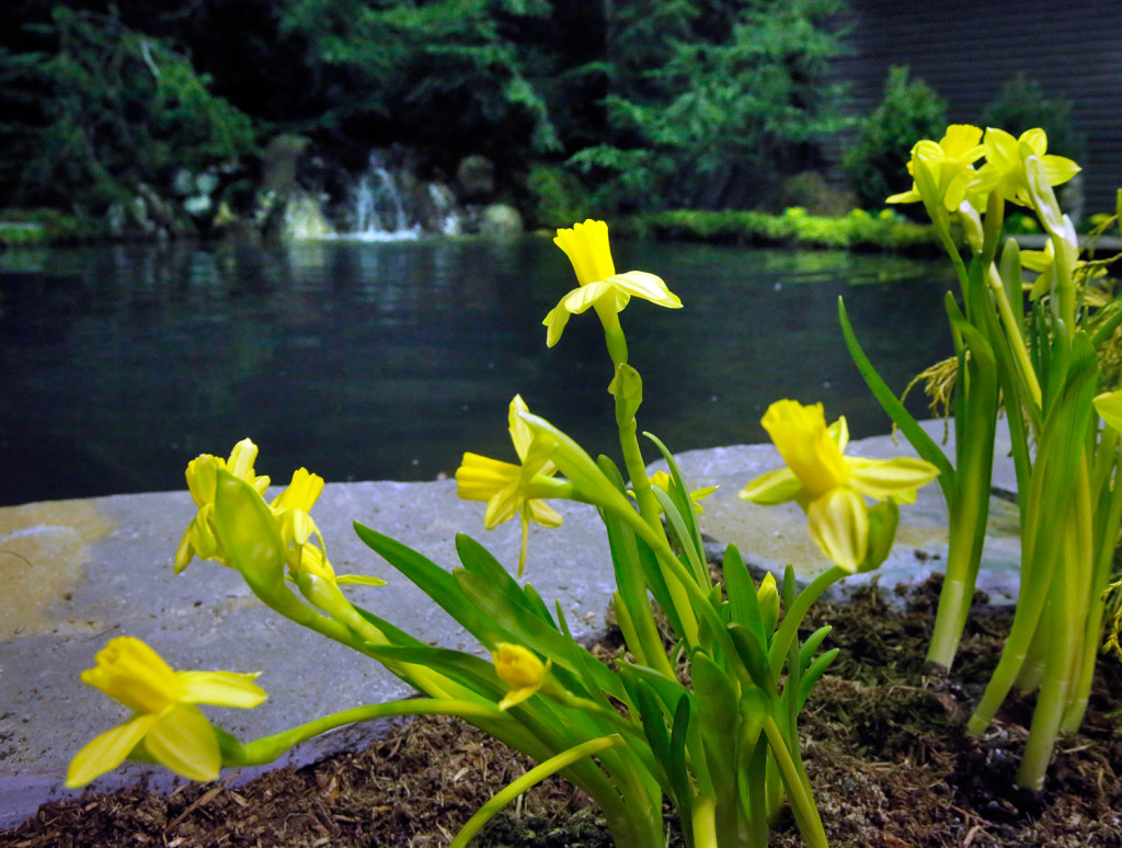 Yellow daffodils brighten the landscaping near a pond with a running waterfall at the Portland Company Complex on Tuesday. The show runs through Sunday.
