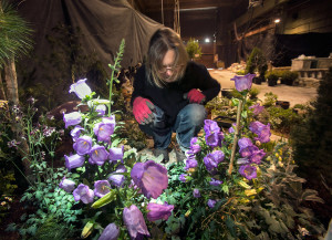 Between colorful Canterbury bell flowers, Michilyn Bourgeois of Lyman arranges a plant in her display for the Portland Flower Show, which starts Wednesday night with an opening gala and awards ceremony.