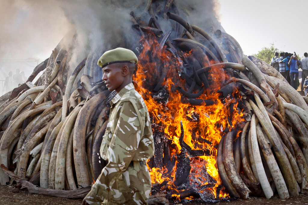 A ranger from the Kenya Wildlife Service walks past 15 tons of burning elephant tusks that were set on fire as part of an anti-poaching ceremony on March 3, 2015,  during World Wildlife Day at Nairobi National Park. Kenyan President Uhuru Kenyatta said that 25 years after the historic banning of the ivory trade, new demand from emerging markets is threatening Africa's elephants and rhinos. The Associated Press