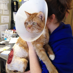 A staff member from the Coastal Humane Society comforts a cat injured by a car engine. Photo courtesy of the Coastal Humane Society