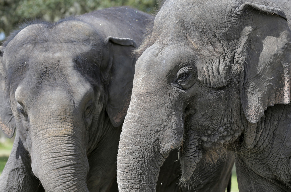 MARCH 3: Circus elephants Icky, right, and Alana stand together Tuesday at the Ringling Bros. and Barnum & Bailey Center for Elephant Conservation, in Polk City, Florida. The Ringling Bros. and Barnum & Bailey Circus said it would phase out its iconic elephant acts by 2018. The Associated Press