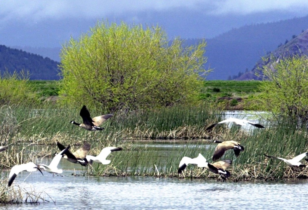 Snow geese and Canada geese prepare to land on a marsh  near Merrill, Ore., in this  2005 photo. Wildlife officials say 2,000 migrating snow geese have died in eastern Idaho likely because of avian cholera. The Associated Press
