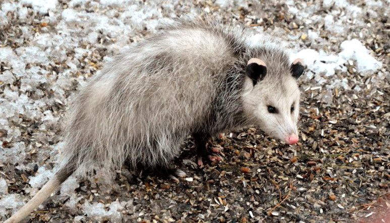 No need for this opossum to climb the bird feeders in Steven Edmondson's yard. The birds scatter plenty of seeds for low-dwelling critters.