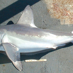 The porbeagle shark  typically reaches about 8 feet in length and about 300 pounds. The North Atlantic sharks tend to grow larger than Southern Hemisphere sharks. It is considered an  opportunistic hunter it is most commonly found over food-rich banks on the outer continental shelf, but makes occasional forays close to shore. NOAA photo