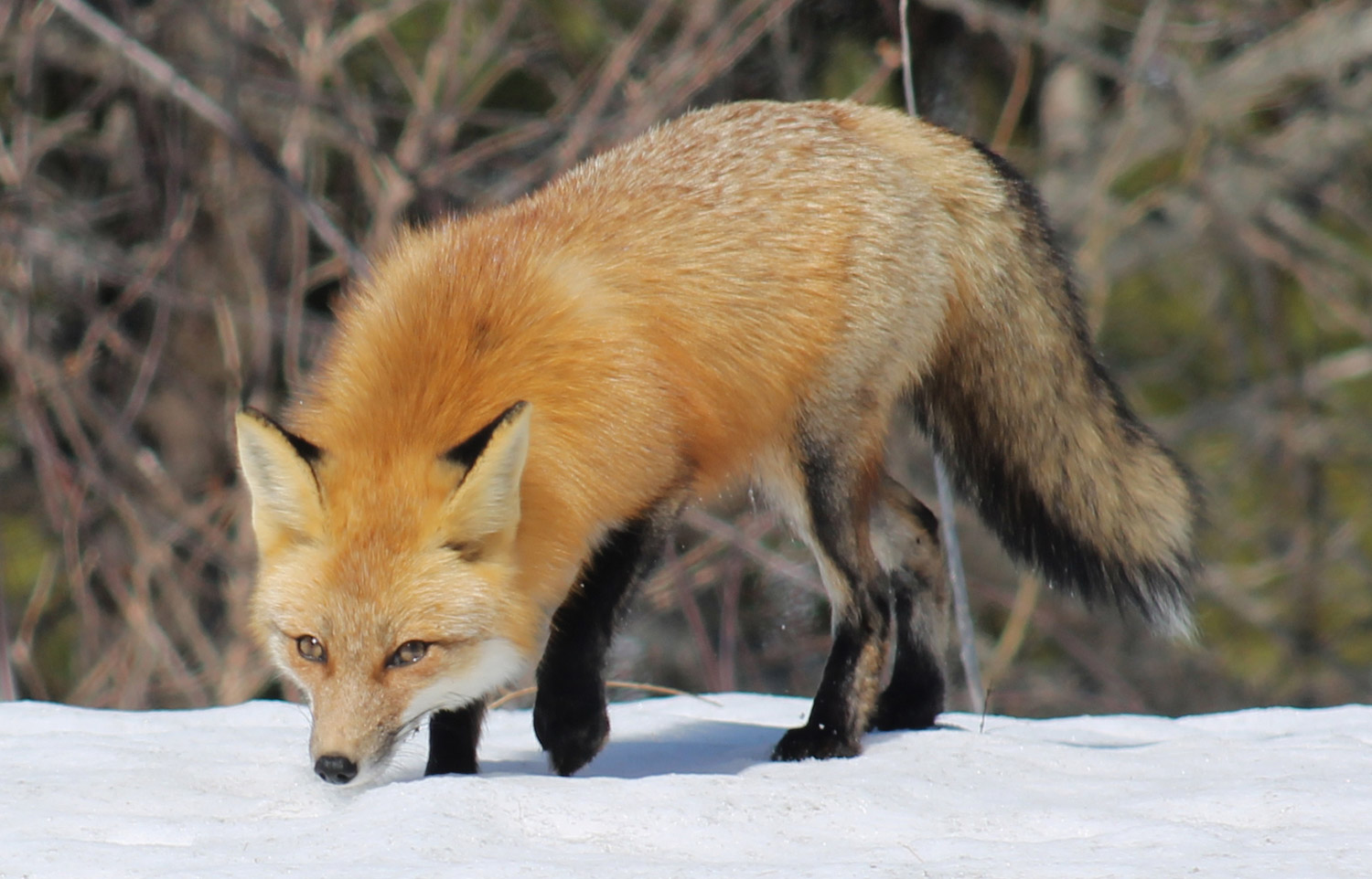 Tammy Davis of Appleton had a recent morning brightened by the appearance of a red fox.