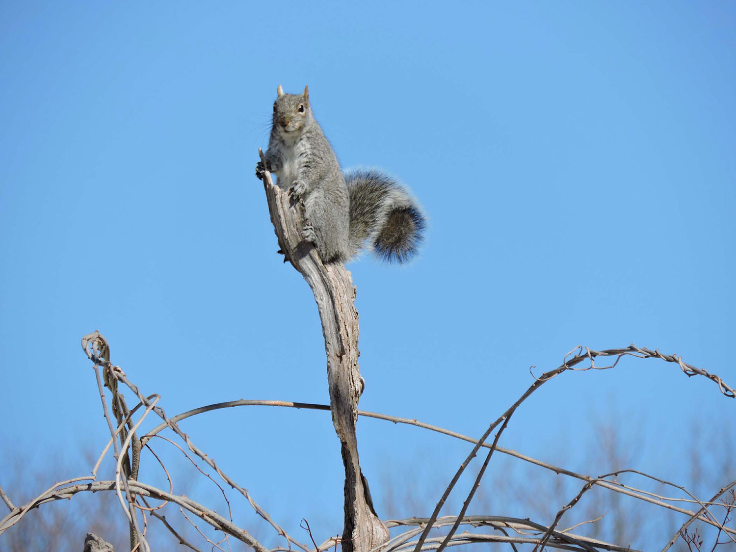 A gray squirrel looks unsure what to do after climbing a dead tree near Middle Beach in Kennebunk where it was photographed by Kristen Holmberg.