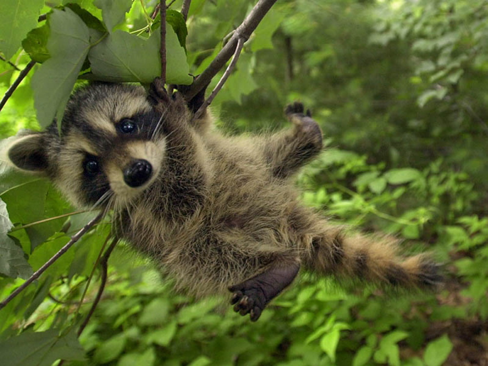 Fairfield issues rabies alert - The Portland Press Herald ... Raccoon With Rabies