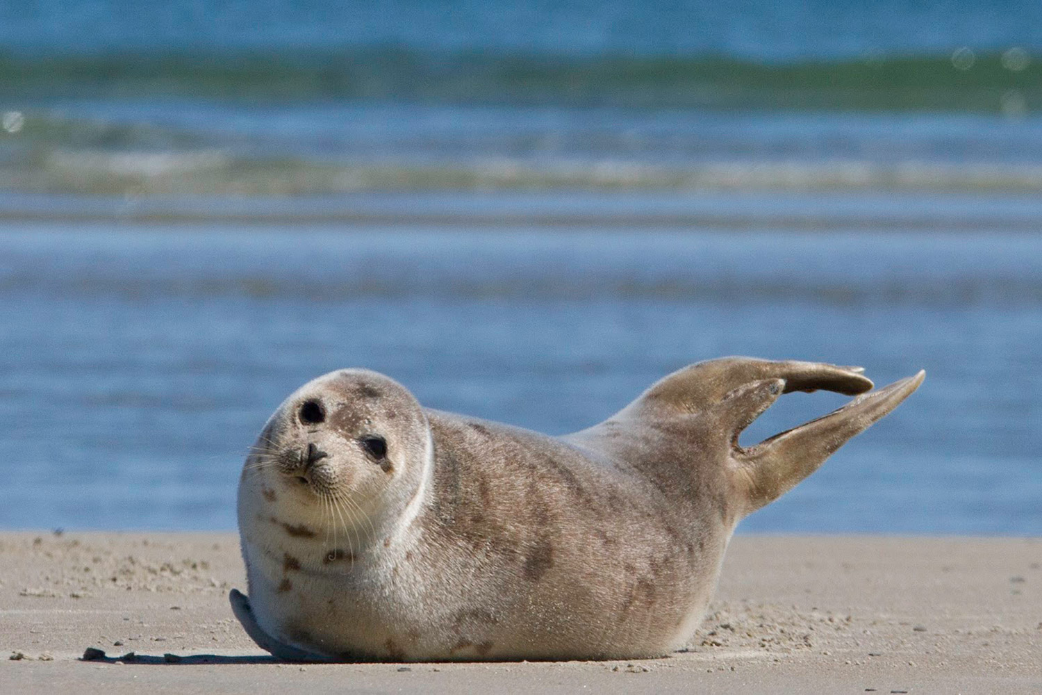 The harbor seal at Wells Beach can show a trusting face to Ryan Hennessey, of Hennessey Photography.