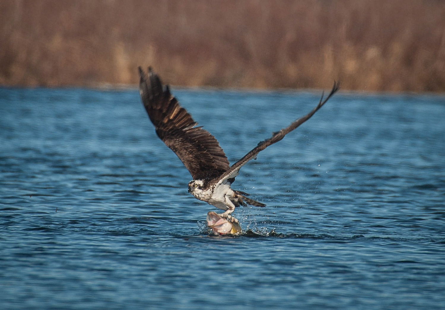 Nature, in all its beauty and savagery, is on display at Messalonskee Lake where an osprey seizes an unsuspecting northern pike that will provide plenty of sustenance. The photo is by Logan Parker, an avid birder and amateur wildlife photographer who serves as community engagement coordinator at the Maine Lakes Resource Center in Belgrade Lakes.