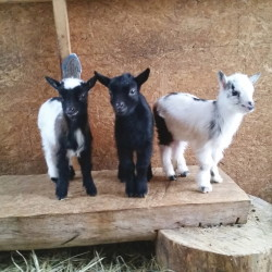 Two-week-old Nigerian Dwarf goats Fae, Black Jack and Krovoa.